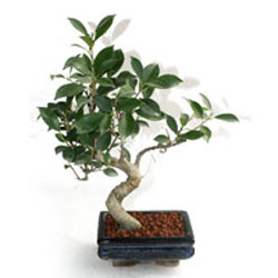 Bonsai Carmona Microphaylla