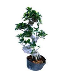 Bonsai Ficus S Shape