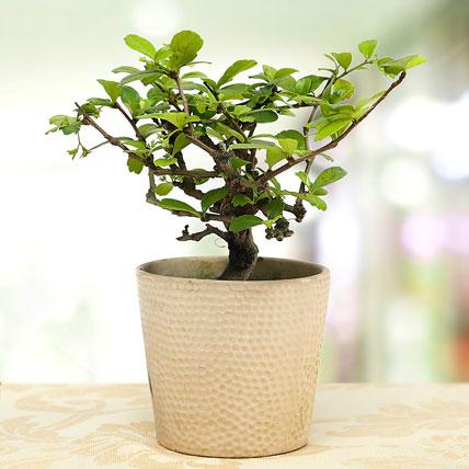 Carmona Plant