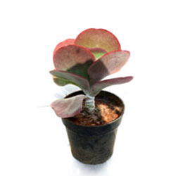 Chapati Cactus Plant