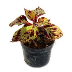 Coleus Plant Golden