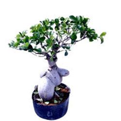 Ficus Microcarpa 400gm