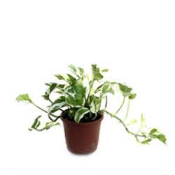 Money Plant Compacta