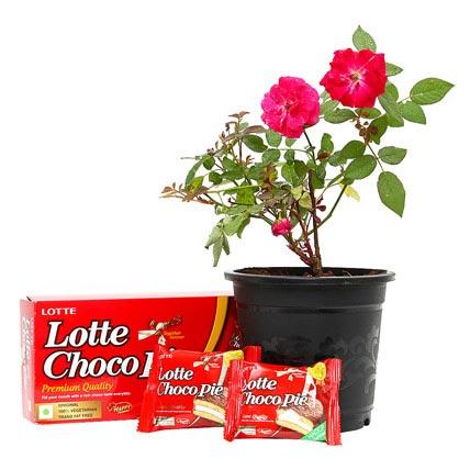 Rose Plant with Choco Pie