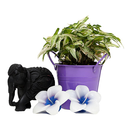 Syngonium Plant with Elephant