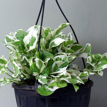 White Pothos Plant