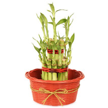 2 layers Lucky Bamboo in Fiber Woven Basket: Send Lucky Bamboo to Ghaziabad