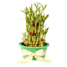 3 layers Lucky Bamboo in Green Fiber Woven Basket: Lucky Bamboo Ghaziabad