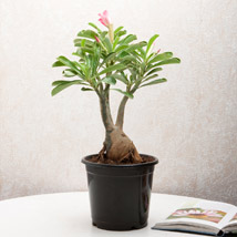Adenium Desert Rose: Today Delivery of Plants