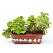 Ajwain Plant: Home Decor Gifts for Him
