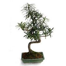 Bonsai Podocarpus Plant: Bonsai Plants