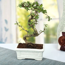 Charming Carmona S Shape Bonsai