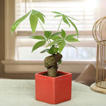 Exotic Pachira Single Knot Bonsai