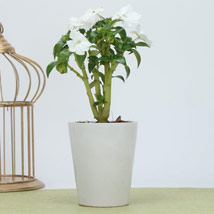 Flat Rs. 50 off on Plants category