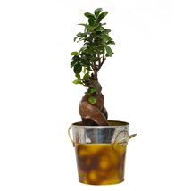 Fabulous Ficus Microcarpa Bonsai Plant