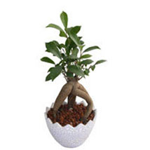 Ficus Microcarpa Plant: Send Home Decor Gifts for Him