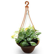 Hanging Money Plant:  Good Luck Plants for Friendship Day