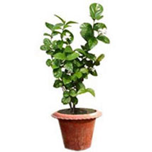 Jasmine Plant: Send Plants for Her