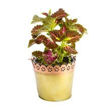 Vibrant Coleus: Send Plants for House Warming